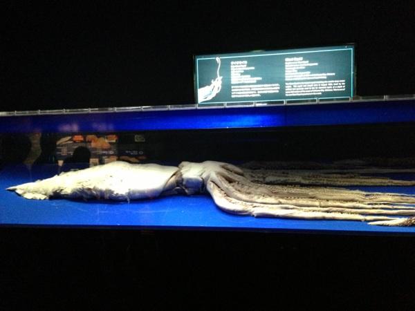 沖縄美ら海水族館のダイオウイカ標本
