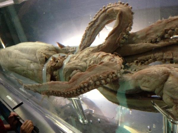 国立科学博物館のダイオウイカ標本