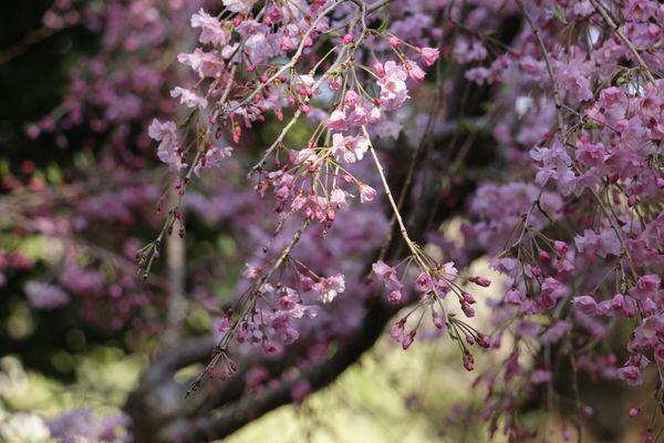 八芳園の枝垂れ桜:4月7日